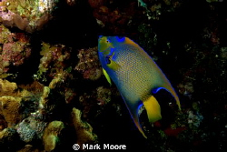 anglefish shot at dolphin point grand cayman by Mark Moore 